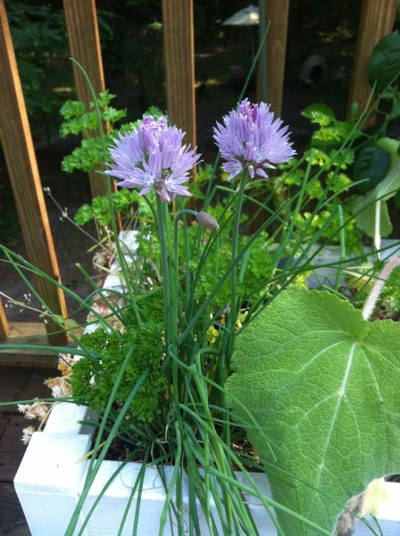 amy dabbs 2 chives growing in container on back deck