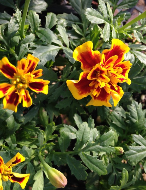 marigold grow easily from seed + attract beneficial insects amy dabbs